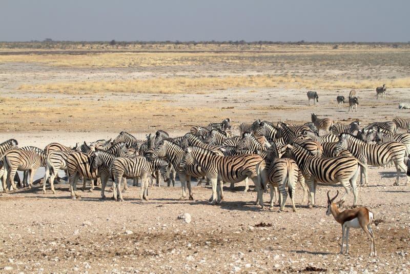 Zebras in the Etosha National Park in Namibia stock photos