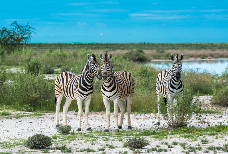 Zebras in Etosha national park, Namibia royalty free stock photography