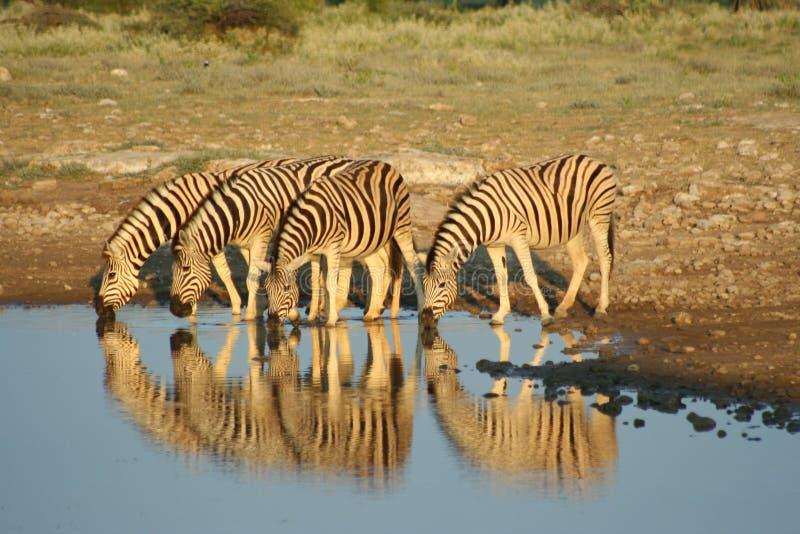 Zebras in Etosha NP, Namibia stockfotos