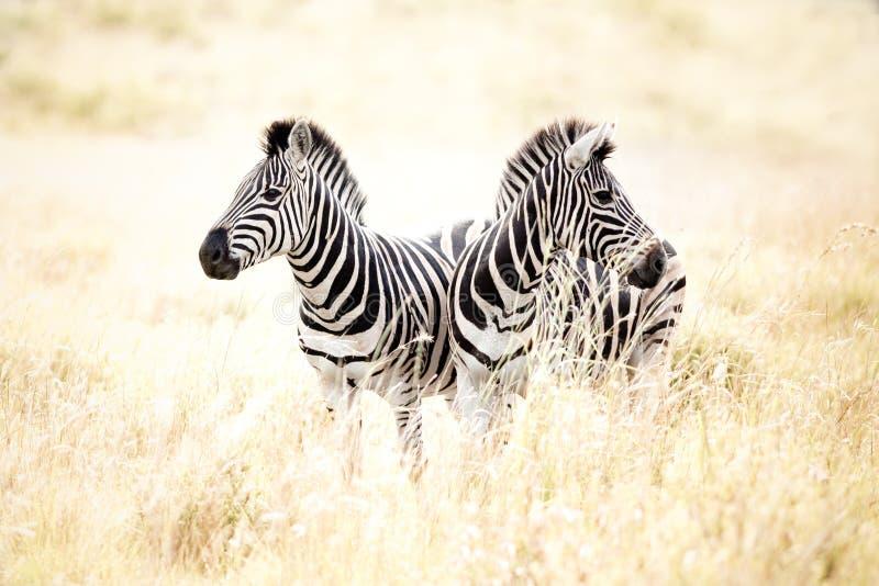 Zebras in field stock photos