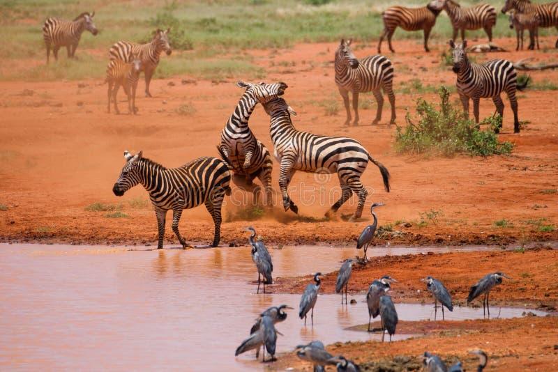 Zebras fight in Tsavo National park royalty free stock image