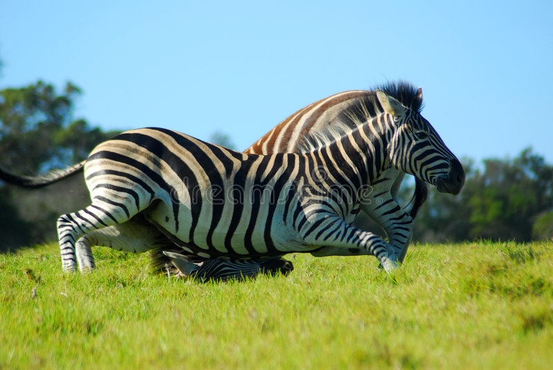 Zebras Fighting In Game Park Royalty Free Stock Images