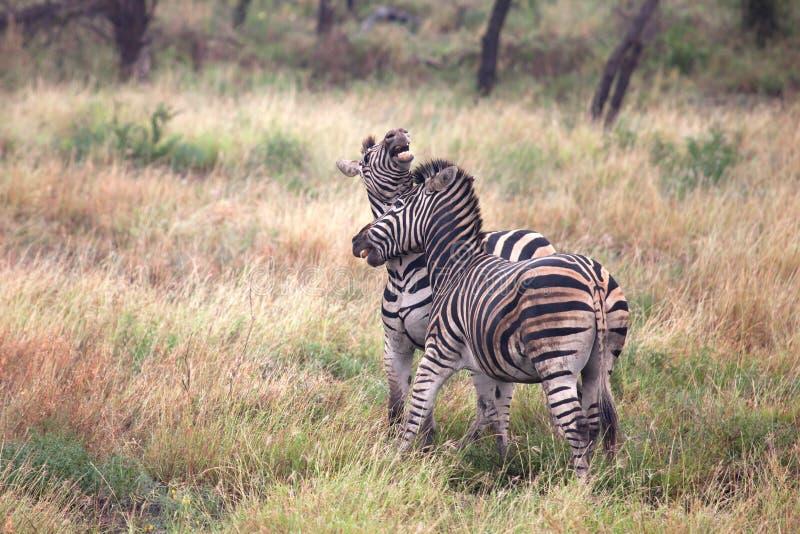 Zebras fighting stock images