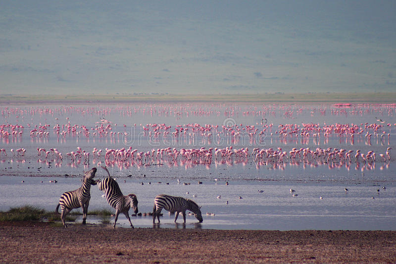 Zebras and flamingo in Ngorongoro. The Ngorongoro Conservation Area (NCA) is a conservation area and a UNESCO World Heritage Site located 180 km (110 mi) west of royalty free stock photos