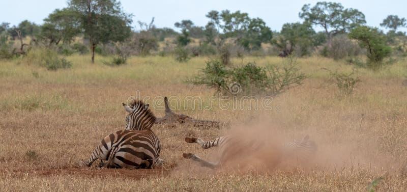 Zebras fotografadas no arbusto no parque nacional de Kruger, África do Sul Uma zebra risca-se na terra seca imagem de stock