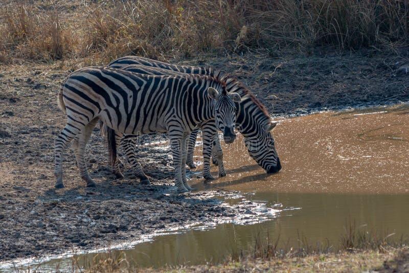 Zebras gather around to drink, Matopos, Zimbabwe. During my holydays had the opportunity to visit Zimbabwe and its great wildlife stock image