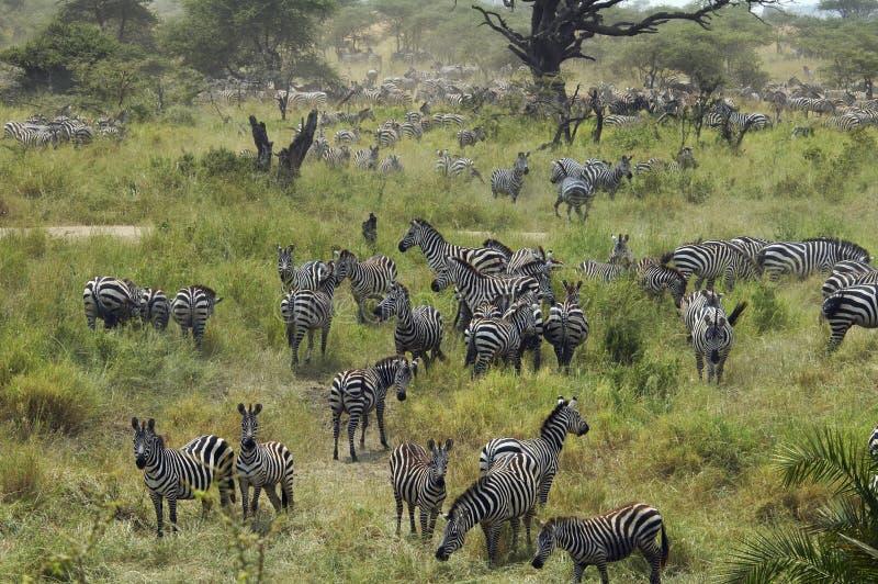 Download Zebras gathering stock image. Image of tanzania, male - 18143599