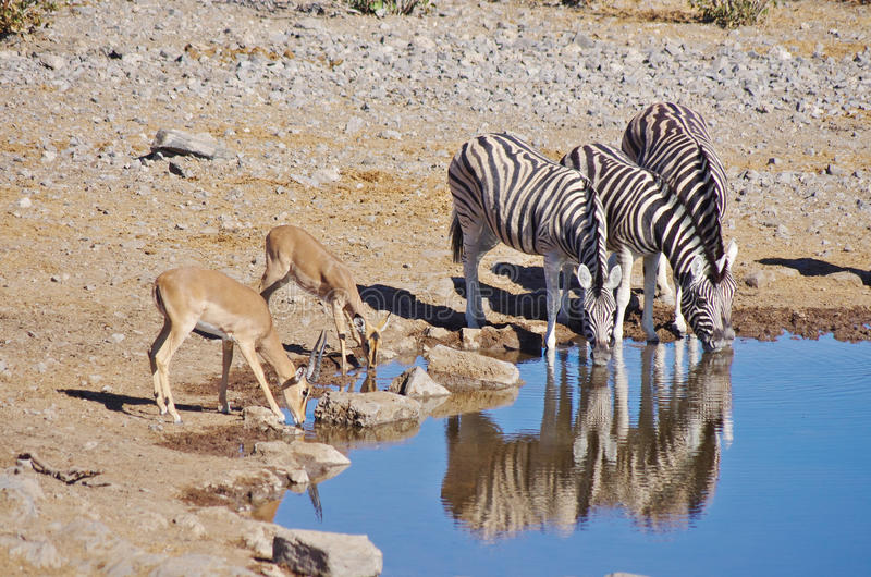 Zebras and gazelle drinking. Side by side stock images