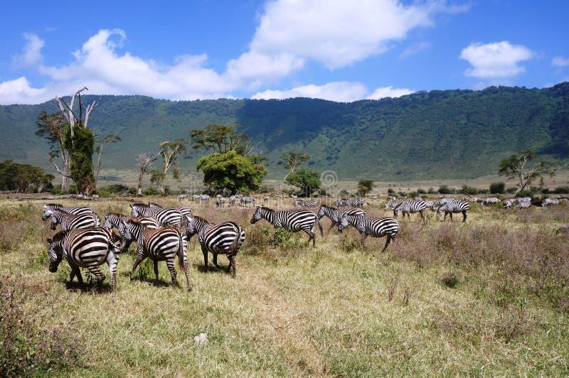 Zebras gesehen auf Safari im NgoroNgoro-Naturschutzgebiet nahe Arusha, Tansania lizenzfreie stockfotografie