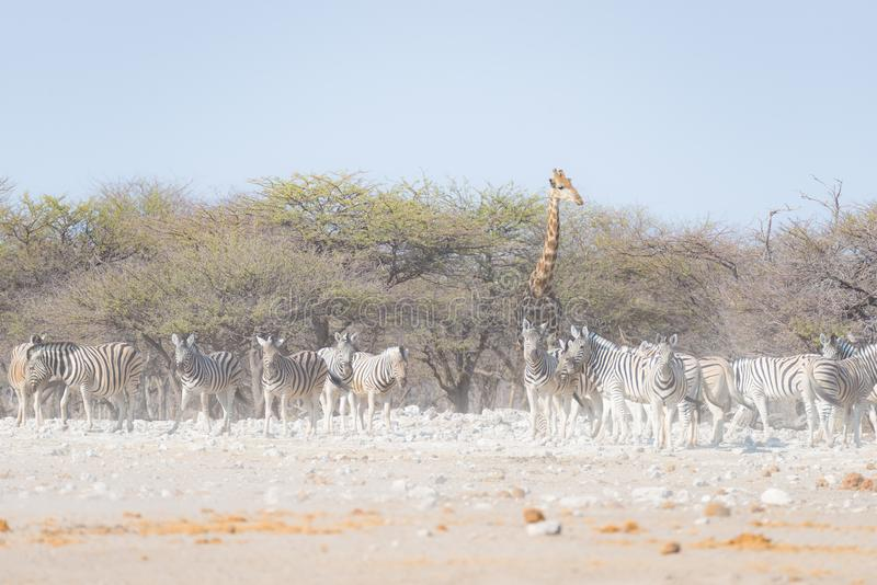 Zebras and Giraffe at Etosha National Park, travel destination in Namibia. Dust, soft light. Zebras and Giraffe at Etosha National Park, travel destination in stock photography