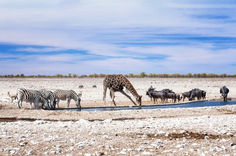Zebras, giraffe and wildebeests at the water pool in Etosha Park. Etosha is a national park in northwestern Namibia stock photography