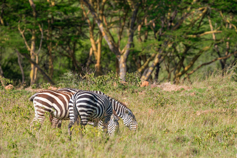 Zebras grazing in savanna royalty free stock images