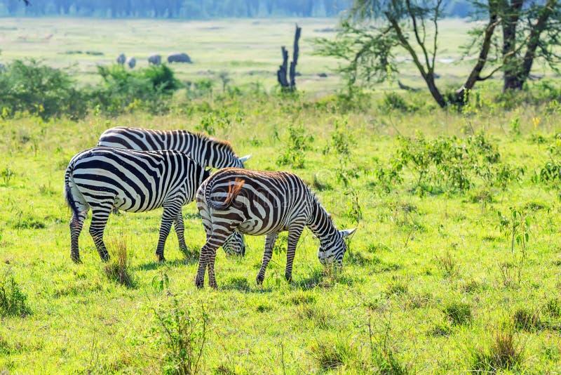 Zebras grazing in savanna stock images