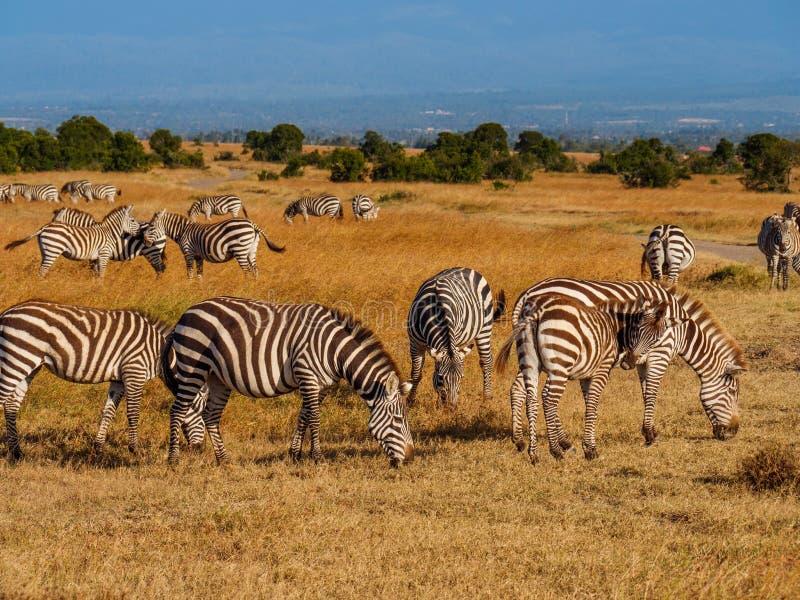 Zebras Grevy στην επιφύλαξη Maasai Mara, Κένυα στοκ εικόνες με δικαίωμα ελεύθερης χρήσης