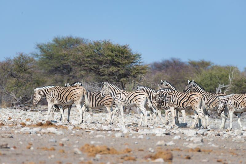 Zebras herd at Etosha National Park, travel destination in Namibia. Dust, soft light. Zebras herd at Etosha National Park, travel destination in Namibia. Dust stock photos