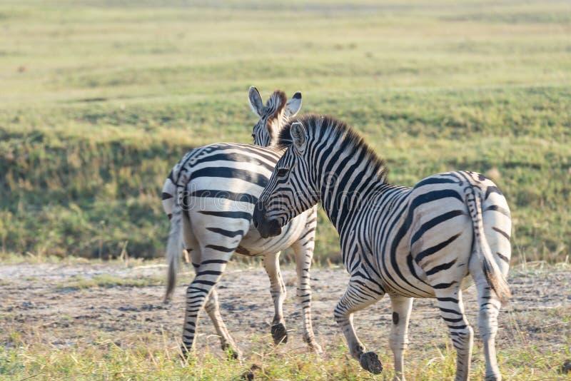 Zebras herd at Etosha National Park, travel destination in Namibia. Dust, soft light. Zebras herd at Etosha National Park, travel destination in Namibia. Dust stock image