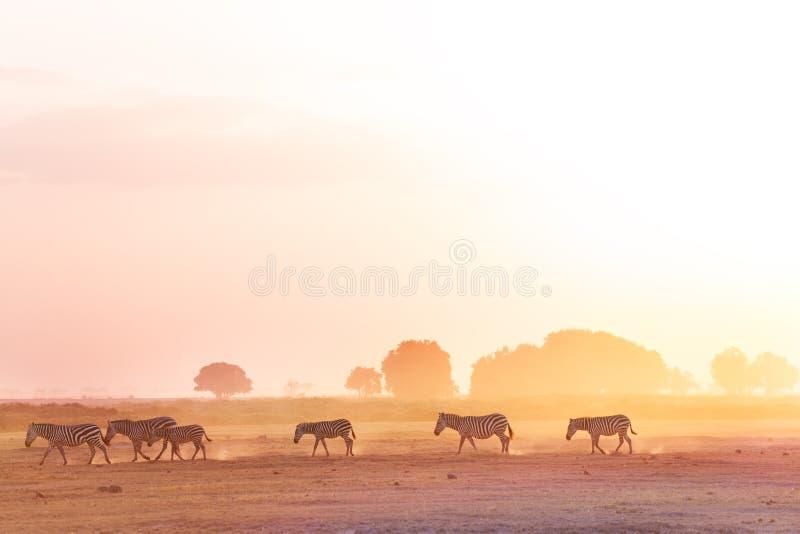 Zebras herd walking on savanna at sunset, Africa stock photos