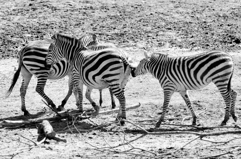 Zebras het spelen stock afbeeldingen