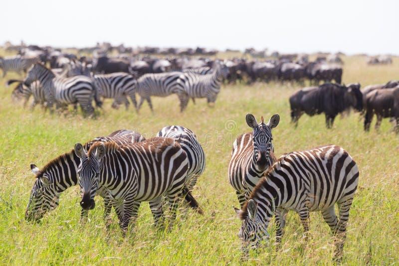 Zebras het weiden in het Nationale Park van Serengeti in Tanzania, Oost-Afrika royalty-vrije stock afbeeldingen