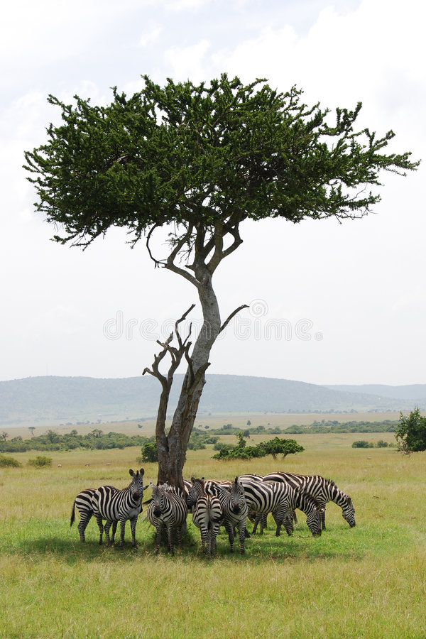 Zebras hiding from the sun royalty free stock photo