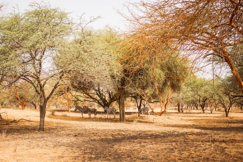 Zebras hiding under the trees. Wild life in Safari. Baobab and bush jungles in Senegal, Africa. Bandia Reserve. Hot, dry climate.  royalty free stock photo