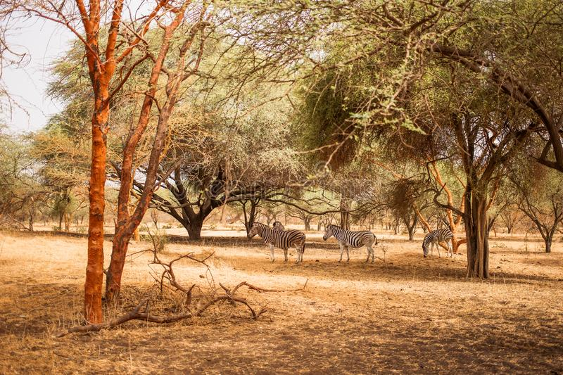 Zebras hiding under the trees. Wild life in Safari. Baobab and bush jungles in Senegal, Africa. Bandia Reserve. Hot, dry climate.  royalty free stock image