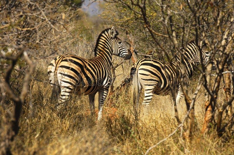 Zebras im Busch stockbilder