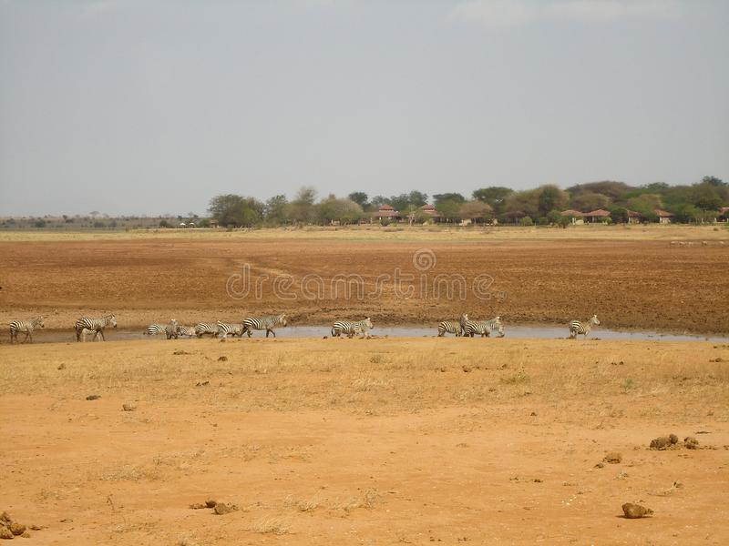 Zebras im Trinkwasser der Wildnis vom Teich lizenzfreies stockbild
