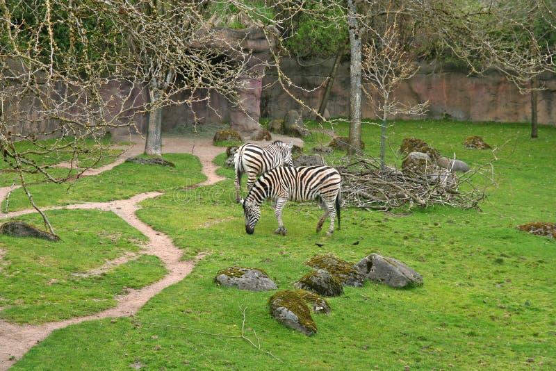 Zebras im Zoo lizenzfreie stockfotografie
