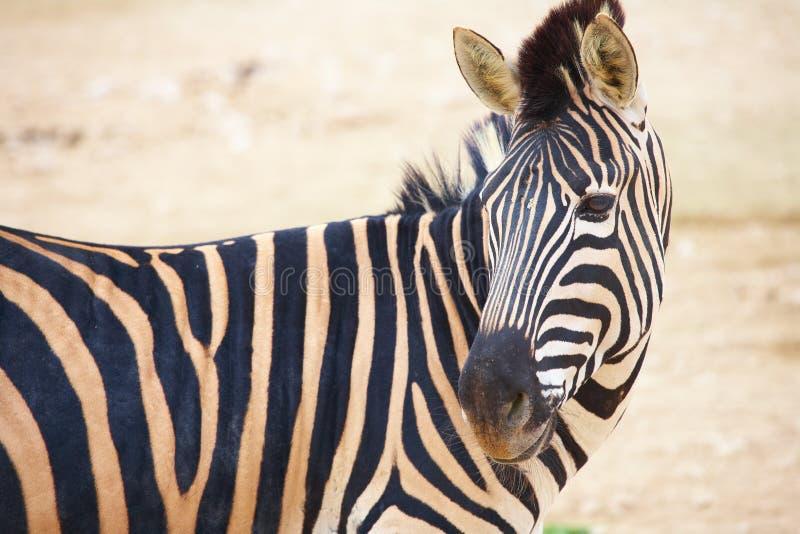 Zebras im Zoo lizenzfreie stockbilder
