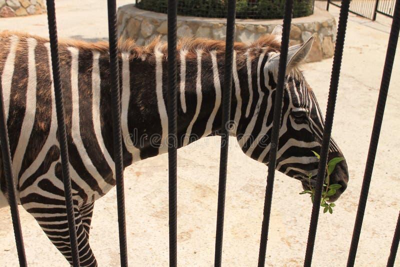 Zebras im Zoo lizenzfreies stockfoto