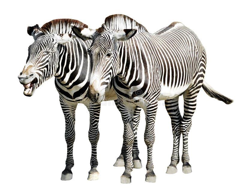 Zebras isoladas de Grevy foto de stock