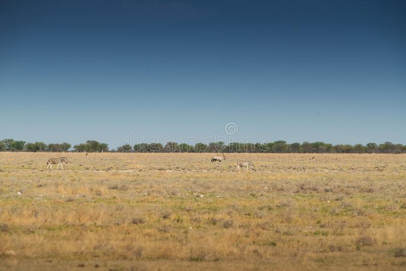 Zebras and Kudos to walk on the Etosha savannah. Africa. Africa royalty free stock photography