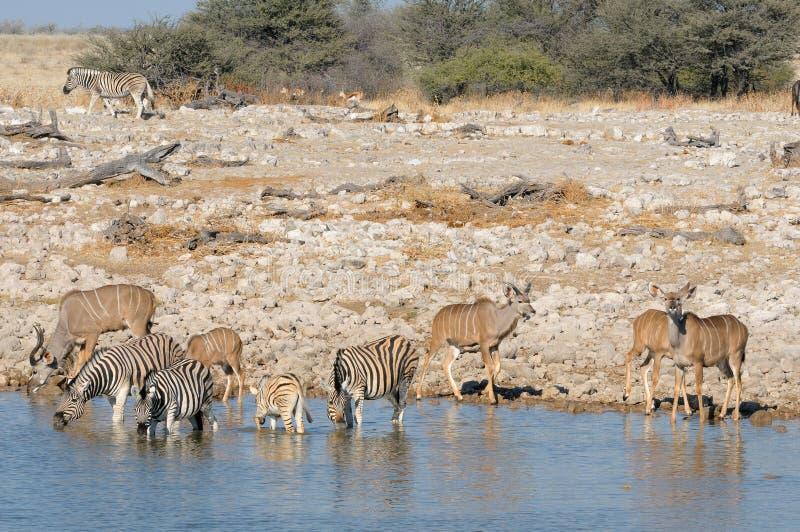 Zebras and kudu drinking water. At Okaukeujo waterhole royalty free stock photos