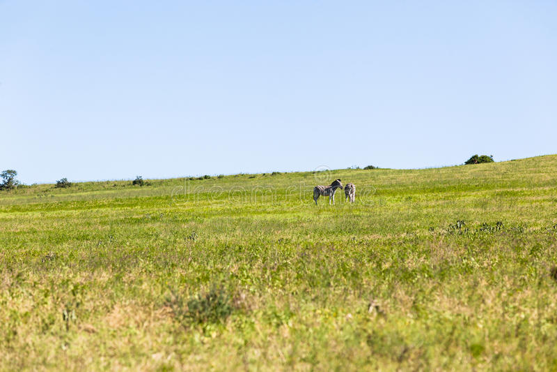 Zebras Landscape Wildlife stock image