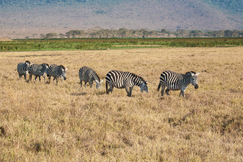 Zebras. A line of zebras in tha savannah royalty free stock photography