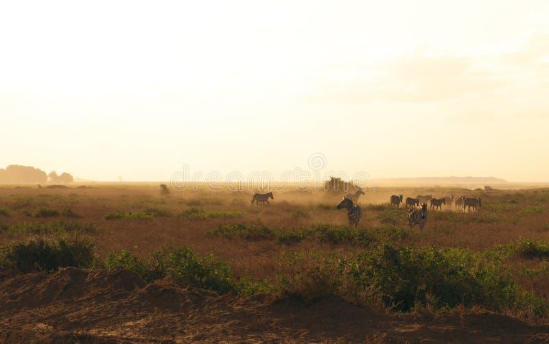 Zebras livres imagens de stock royalty free
