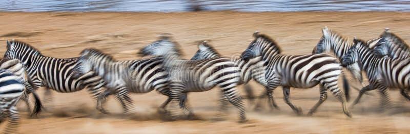 Zebras loopt in het stof in motie kenia tanzania Nationaal Park serengeti Masai Mara stock foto