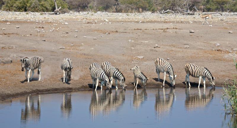 Zebras. Many zebras at the pool stock photography