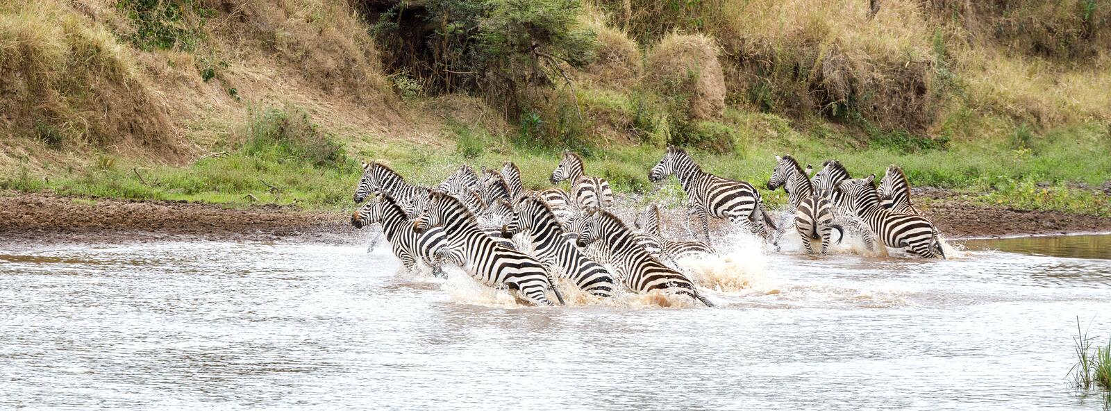 Zebras in the Mara River. A herd of Plains Burchells zebra run in the shallows of the Mara River, Masai Mara, Kenya. These animals have been spooked by a stock photography