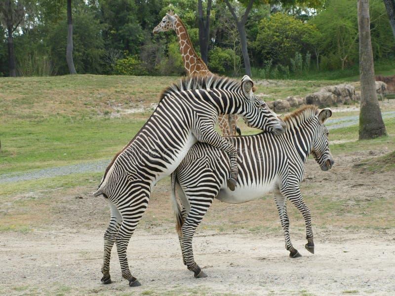 Zebras mating stock image