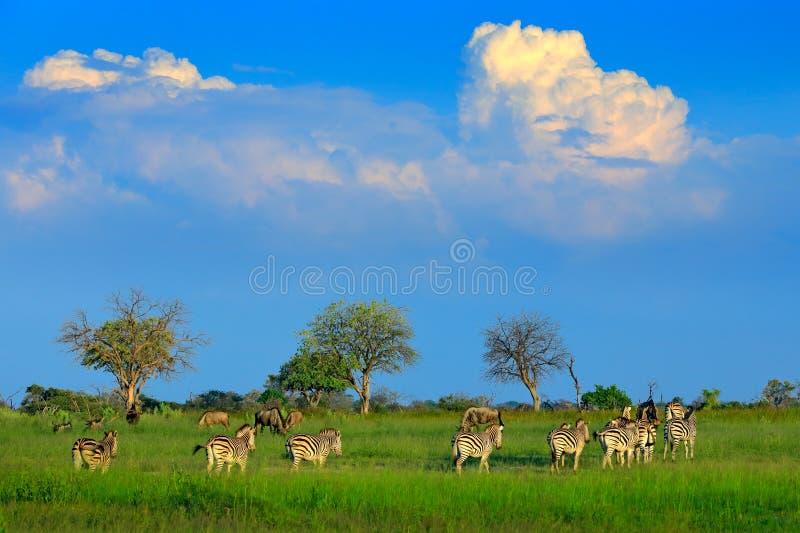 Zebras met blauwe hemel en onweerswolken Burchell` s zebra, Equus-quaggaburchellii, Nxai Pan National Park, Botswana, Afrika wild royalty-vrije stock foto