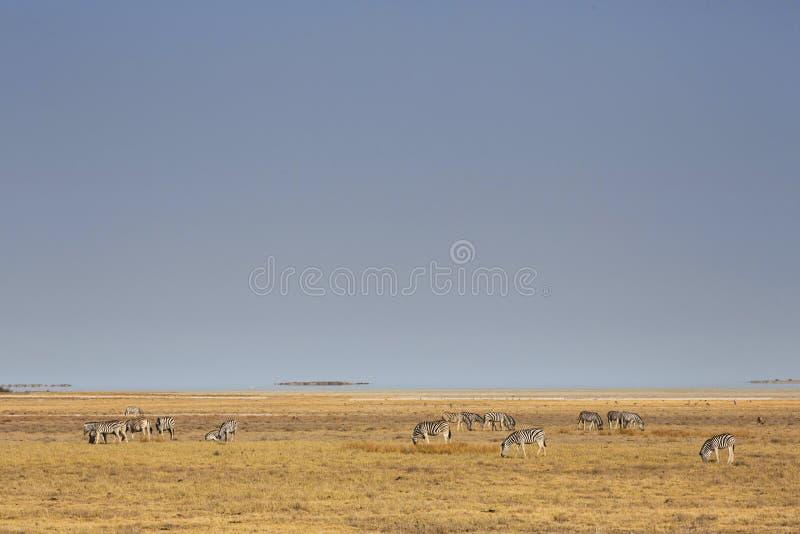 Zebras na bandeja de Etosha no parque nacional de Etosha, Namíbia imagem de stock