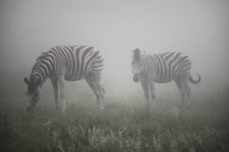 Zebras na névoa fotografia de stock royalty free