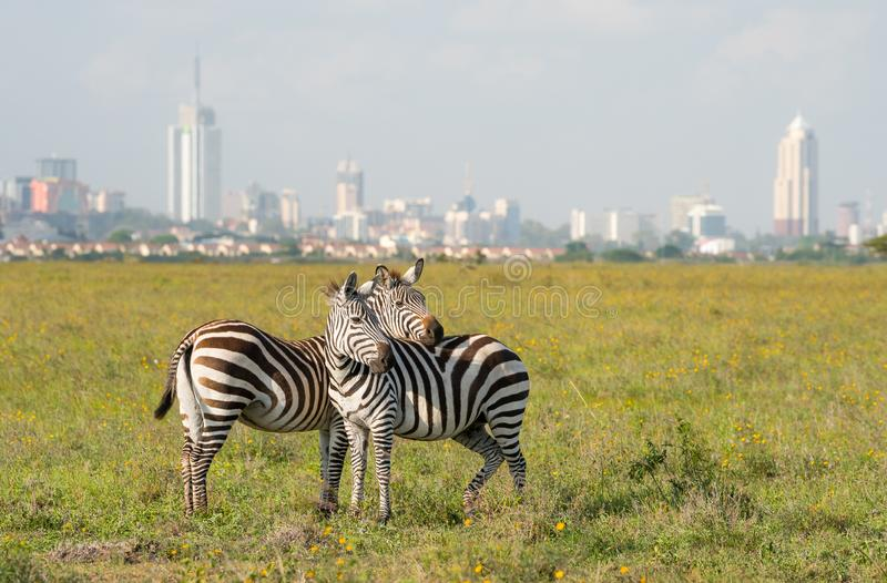 Zebras in Nairobi national park royalty free stock photography