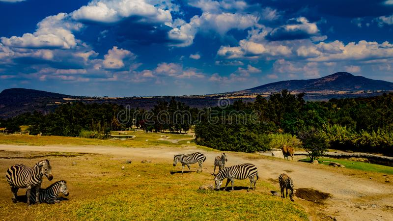 Zebras in a nature reserve with trees, grass and green vegetation. Beautiful image of zebras in a nature reserve with trees, grass and green vegetation with royalty free stock image