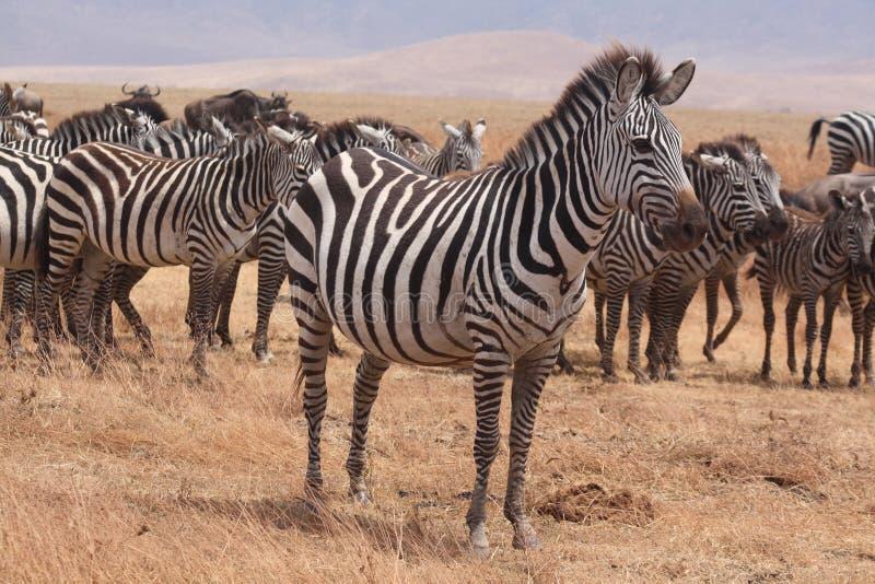 Zebras of Ngorongoro Crater stock image