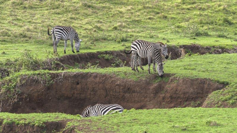 Zebras, Ngorongoro Crater, Tanzania stock image