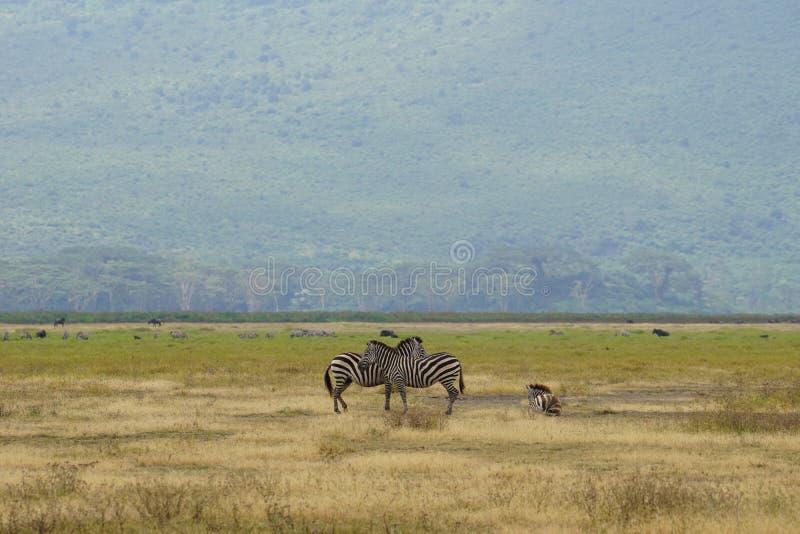 Zebras in Ngorongoro, Tanzania stock afbeeldingen