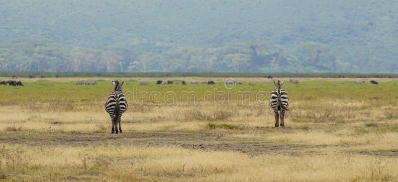 Zebras in Ngorongoro, Tanzania royalty-vrije stock foto
